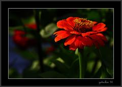 Red Head (the Gallopping Geezer '5.0' million + views....) Tags: flower bloom bud petal red nature closeup macro garden bowersfarm troy mi michigan historicproperty canon 5d3 geezer 2016