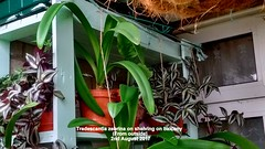Tradescantia zebrina on shelving on balcony (From outside) 2nd August 2017 (D@viD_2.011) Tags: tradescantia zebrina shelving balcony from outside 2nd august 2017