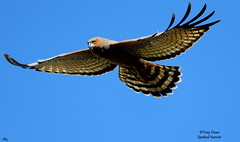 Spotted-Harrier (tonydawe1) Tags: fieldguidebirdsoftheworld circusassimilis spottedharrier