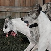 Whippets (sizzlingcoture) Tags: whippets sighthounds bella stella growl snarl nashing teeth dogs eos5dmarkiii ef75300mmiii