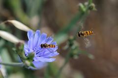 The Race (ironmember) Tags: cichoriumintybus fiore pistilli petali macro closeup insetti api bee ditteri impollinazione volo corsa race colore sfondosfocato bokeh