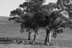 Mount Major, Sheep, and Gum Trees. (Michael Desimone) Tags: michael desimone flickr canon 7d sigma 85mm f14 ex dg hsm phoyographry black white monochrome sheep morino wool mount country field flields padock hill farm eos major