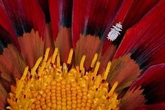 Contrast (Nightgoose) Tags: larva ladybug joaninha gazania