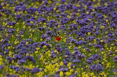Poppy in Phacelia tanacetifolia field (Brian Carruthers-Dublin-Eire) Tags: phacelia tanacetifolia lacy blue tansy purple phaceliatanacetifolia lacyphacelia bluetansy purpletansy flower wildflower