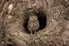 Who are you looking at? D75_9992.jpg (Mobile Lynn) Tags: nature owls birds littleowl bird fauna strigiformes wildlife nocturnal otterbourne england unitedkingdom gb coth specanimal ngc coth5 npc sunrays5