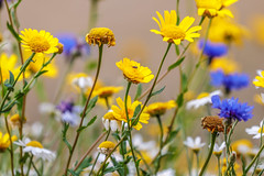 colour pop of old and new flowers (I was blind now I see!) Tags: colour colourful botanical flowers scene white yellow blue old new fresh daisy bokeh random stem stems stamen insect fly