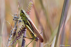 Large marsh grasshopper VI (Dom Greves) Tags: august bog dorset hartlandmoor heathland insect invertebrate largemarshgrasshopper mire moorland orthoptera purbeck summer uk wildlife