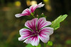 Common Mallow (Wonder Woman !) Tags: mallow sylvestris pink malva malvasylvestris purple