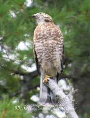IMG_4115brwnghwkcopyg (Sally Knox Sakshaug) Tags: select nature outdoors alive broadwinged hawk perched stump tree feathers face beak eyes tail claw feet breast