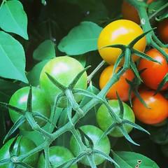 Tomato spectrum.