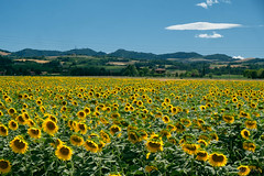Field of sunflowers along the via Emilia (clodio61) Tags: bologna castelsanpietro emiliaromagna europe gallo italy osteriagrande color country day field flower land landscape meadow outdoor photography rural scenic summer sunflower sunny viaemilia yellow