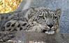 Penny [In Explore 9/23/17] (greekgal.esm) Tags: snowleopard leopard bigcat cat feline animal mammal carnivore penny asianleopard sandiegozoo sdzoo sandiego sandiegozooglobal sony rx10m3 rx10iii