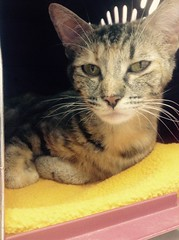 Laurna - 1 year old spayed female