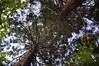 UW Campus_Trees_Reaching_Upshot_1 (Zero State Reflex) Tags: uw trees campus nature fractal geometry photography canon 5dmark3 upshot washington pnw