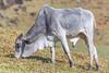 Pasto (ruimc77) Tags: nikon d810 tamron sp 70200mm f28 di vc usd boi ox cow vaca animal campo rural pasto piracaia sao são paulo brasil brazil wild life vida natureza naturaleza nature tamronsp70200mmf28divcusd nikond810 bresil brèsil 巴西 ブラジル البرازيل ברזיל brazilië brasilien бразилия brasile 브라질