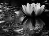 Water Lily I (theReedHead) Tags: thereedhead canonsx50 canoncameras bw blackwhite blackandwhite monochrome monochromatic realism whitewaterlily nymphaeaodorata whiteflowers wildflowers blossoming waterlillies milwaukee wisconsin schlitzaudubonnaturecenter sanc canonpowershot milwaukeephotographers wisconsinphotographers flowers closeups flora blooming