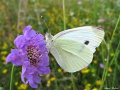Butterfly 1434 (+780000 views!) Tags: butterfly borboleta farfalla mariposa papillon schmetterling فراشة