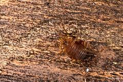 Gonyleptidae, Goniassaminae (aracnologo) Tags: catasaltas minasgerais gonyleptidae goniassaminae arachnida arachnid aracnídeo opiliones opilião harvestman harvestmen