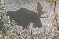 Moose bull in the fog and snow