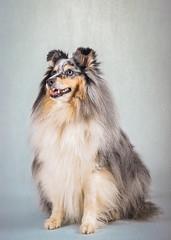 Rocky the Sheltie (ToriAndrewsPhotography) Tags: sheltie pet portrait dog studio photography andrews tori