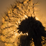 Dandelion at first light (Explore 2017-08-20) thumbnail