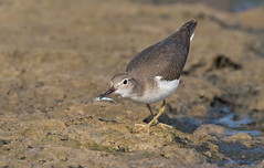 Spotted Sandpiper juvi with minnow (mandokid1) Tags: canon canon7dmk11 ef400mmdoii shorebirds