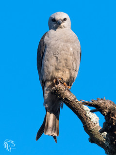 Mississippi Kite at the Jersey Shore | 2017 - 11
