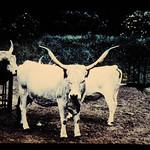 Grey Steppe = 世界の牛 グレイ・ステップ thumbnail