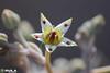 Planta fantasma flores (explore) (Anderson Avila) Tags: planta fantasma suculenta macro flor flower