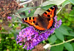 Tortoiseshell Butterfly (Tezza Campbell, Aug 17)