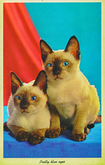 Pretty Blue Eyes (Thomas Hawk) Tags: america usa unitedstates unitedstatesofamerica vintage cat postcard siamesecat