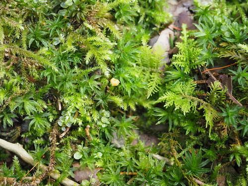 Rickenella fibula (Gemeiner Heftelnabeling)