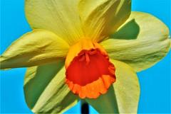 DSC_0053 : My Garden Spring 2017 (aciamax) Tags: aciamax mygarden flowers blossom bulbs hellebors spax fressias melbourne victoria australia roses camellias daffodils