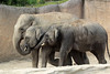 Aziatische olifanten (K.Verhulst) Tags: aziatischeolifant asiaticelephants elephants elephant olifanten olifant wildlandsadventurezoo wildlands emmen