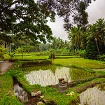Bathing after a long day in the rice terraces, Ubud, Bali