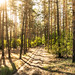 Evening in the forest (fin4shark) Tags: landscape forest pine nature evening sunset ukraine