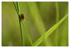En descente...Downhill... (isabelle.bienfait) Tags: inexplore vert green collembole collembola herbe grass flashy fluo minuscule tiny sminthurus springtail isabellebienfait nikond7200 sigma105 dicyrtominaornata