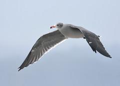 Heermann's Gull (Christopher Lindsey) Tags: heermannsgull halfmoonbay beach sanmateocounty california flight birds birding
