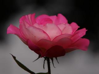 my-autumn-rose