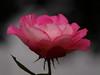 my-autumn-rose (johnb/Derbys/UK) Tags: rose myworld pov derbyshireuk bloom nice mygarden petals pink