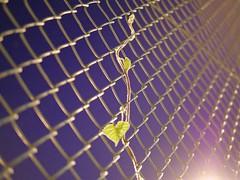 ivy_1380611 (strange_hair) Tags: ivy plant tokyo japan night fence