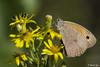 Farfalla Marrone (Masenko84) Tags: farfalla natura naturalmente macro 105sigma canon bellezza fiore giallo marrone colori spettacolo allaperto nero fotografando fotografia foto butterfly pianta insetto
