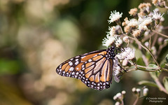 South Monarch butterfly (Cristofer Martins) Tags: danauserippus erippus borboletamonarca borboleta butterfly nature wildlife coth5