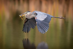 Great Blue Heron (Randy Lowden) Tags: greatblueheron heron prey flight colorful silky water reflection randylowden ontario canon5dmarkiv