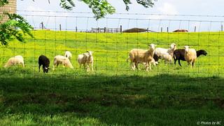 Amish Sheep.HFF!