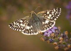 Common Checkered Skipper (shastamax) Tags: dorsal september bmna ca small white brown siskiyoucounty commonbandedskipper pyrgus pyrguscommunis