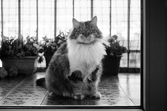 Cat on Film (Sheng P.) Tags: cat film 35mm leica rangefinder flickr cats feline catphoto siberian russian black white blackandwhite bw leicam3 m3 elmar 50mm 135mm