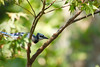 Molting Bluejay (brandon_gerringer) Tags: bluejay blue bird birdphotography molting nature naturephotography canon animal