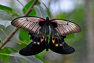 Mating Great Mormons ( Papilio Memnon Agenor )