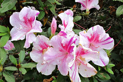 Encore azalea  ---  two tone pink (snow41) Tags: twotonepink azalea encore floralfantasy